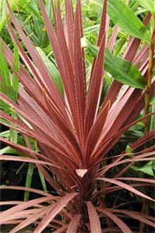 кордилина южная (Cordyline australis), пальма, фото, фотография с http://www.jungleseeds.com/
