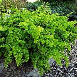 адиантум Венерин волос (Adiantum capillus-veneris), фото, фотография с http://www.smgrowers.com/