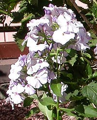 флокс голубой (Phlox), фото фотография, цветы растения