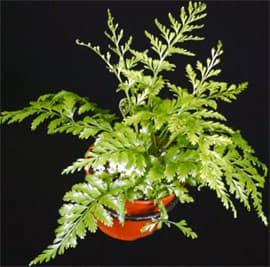 асплениум луковиценосный (Asplenium bulbiferum), фото, фотография с http://www.tropiflora.com/