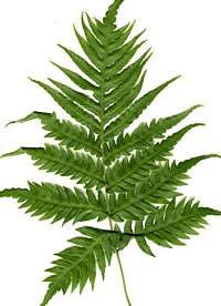 вудвардия укореняющаяся (Woodwardia radicans), фото, фотография с http://www.fibrex.co.uk/