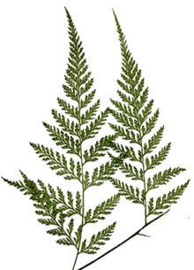 давалия рассеченная (Davallia dissecta), фото, фотография