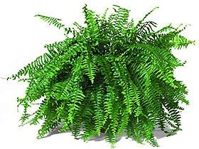 нефролепис высокий (Nephrolepis exaltata), фото, фотография с www.metaefficient.com