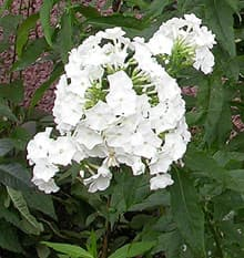 флокс белый (Phlox), фото фотография, цветы растения