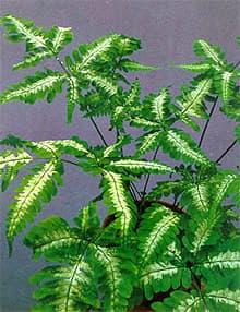 птерис критский, орляк критский (Pteris cretica), фото, фотография с http://www.jardins-interieurs.com/