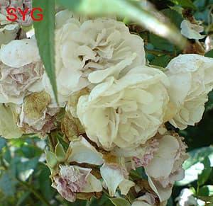 роза-лиана, фото Гурьевой С.Ю, фотография