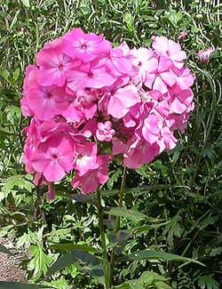 флокс коралловый (Phlox), фото фотография, цветы растения