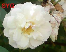 белая плетистая роза, фото Гурьевой СЮ, фотография