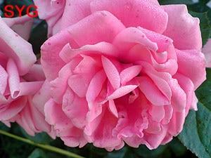 розовая роза, фото Гурьевой СЮ, фотография