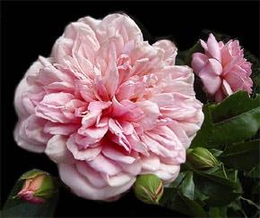 роза Вихуры (Rosa wichuraiana), фото, фотография с http://www.kirsch-gestaltung.de/