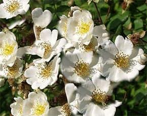 роза пашенная (Rosa arvensis), фото, фотография с http://www.baumschulen-biermann.de/