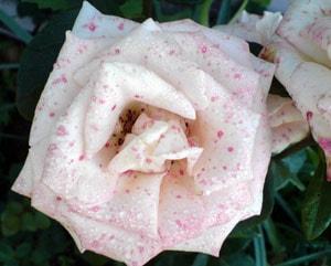 белая роза, фото, фотография
