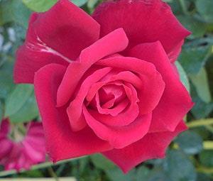 ярко-розовая роза, фото, фотография