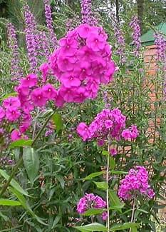 флокс малиновый (Phlox), фото фотография, цветы растения