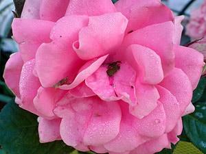 нежно-розовая роза, фото, фотография