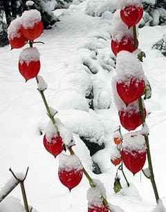 физалис декоративный под снегом, фото фотография, цветы растения