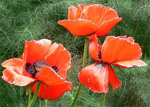 мак (Papaver bracteatum), фото, фотография с http://commons.wikimedia.org/