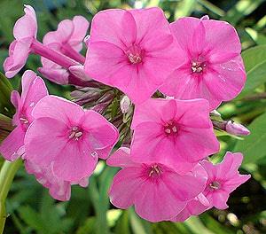 петуния (Petunia), фото, фотография www.zooclub.ru