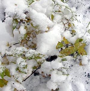 спирея под снегом, фото фотография, цветы растения