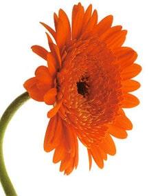 цинния (Zinnia), фото, фотография с http://imagecache2.allposters.com/