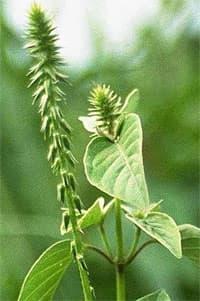 ахирантес (Achyranthes), фото, фотография с http://malherbologie.cirad.fr/