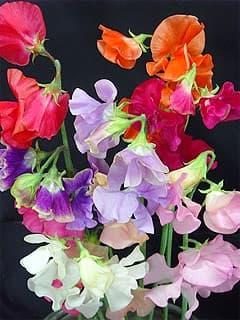 горошек душистый (Lathyrus odoratus), фото, фотография с www.diemmeexport.com