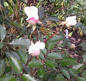 парковая розовая, все еще с бутонами, фото фотография, цветы растения