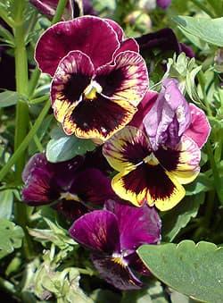 виола, фиалка трехцветная, анютины глазки (Viola tricolor), фото, фотография www.zooclub.ru