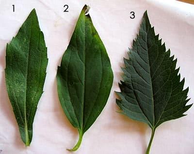 листья растения: 1. рудбекия, 2. золотые шары, 3. солнечник, фото, фотография