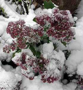 очиток под снегом, фото, фотография