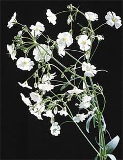 Гипсофила метельчатая перекати поле gypsophila paniculata  Гипсофила метельчатая или перекати поле gypsophila paniculata