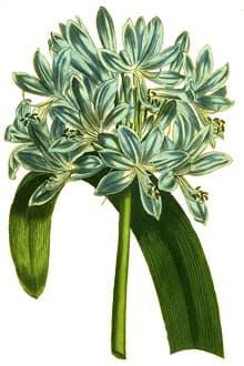 агапантус зонтичный, африканская лилия, нильская лилия (Agapanthus umbellatus), фото, фотография с http://upload.wikimedia.org/