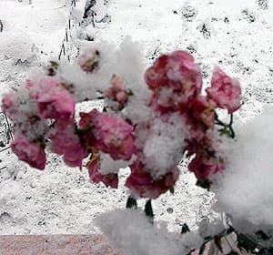 розы под снегом, фото, фотография