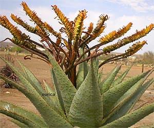 алоэ Марлота (Aloe marlothii), фото фотография с http://succulentplants.net/, цветы растения