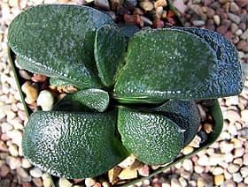 гастерия Армстронга, Армстронга гастерия (Gasteria armstrongii), фото, фотография с http://image20.webshots.com/ цветы растения