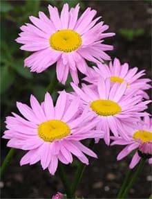 пиретрум (Pyretrum), фото, фотография с flower.onego.ru, растения цветы