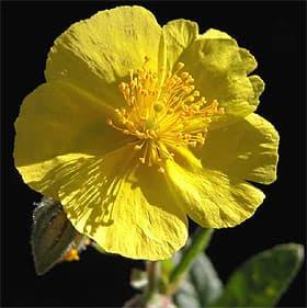 солнцецвет монетолистный (Helianthemum nummularium), фото фотография с http://www.valdaveto.net/, растения цветы
