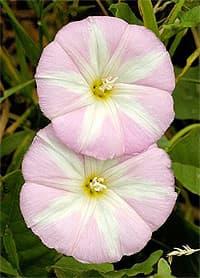 вьюнок, конвольвулюс трехцветный (Convolvulus), фото, фотография, растения цветы