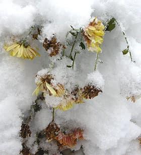 хризантема под снегом, фото, фотография