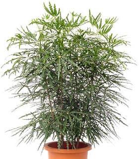 дизиготека элегантнейшая (Dizygotheca elegantissima), фото фотография с http://www.makimo-plant.com/, растения цветы