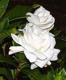 гардения жасминовидная (Gardenia jasminoides), фото, фотография с http://k53.pbase.com/, растения цветы