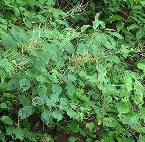 бемерия крупнолистная (Boehmeria macrophylla), фото, фотография с http://farm4.static.flickr.com/, растения цветы