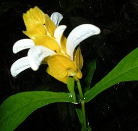 белопероне капельная (Beloperone guttata), фото сделано в Индонезии, фотография www.zooclub.ru, растения цветы