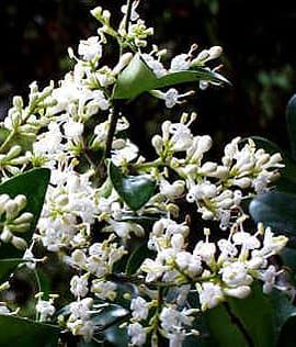 бирючина японская (Ligustrum japonicum), фото фотография с http://www.jardineria.pro/, растения цветы