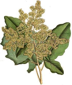брахиглотис широковыемчатый (Brachyglottis repanda), фото, фотография с http://www.botanicus.org, растения цветы