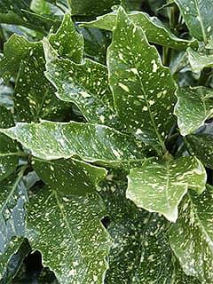 аукуба японская (Aucuba japonica), фото фотография с http://www.pendernursery.com/, растения цветы