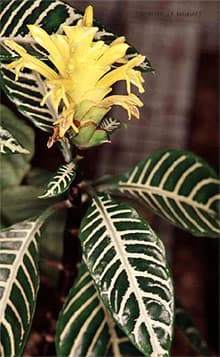 афеляндра оттопыренная (Aphelandra squarrosa), фото, фотография с http://botany.cs.tamu.edu/ J.R.Marhart, растения цветы