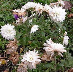 хризантема белая, фото, фотография