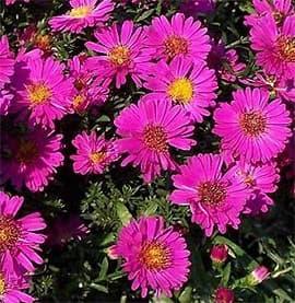 астра кустообразная (Aster dumosus), фото фотография с http://www.pflanzen-vielfalt.de/, цветы растения
