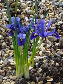Иридодиктиум сетчатый iris reticulatum iris